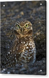 Burrowing Owl Acrylic Print by Doug Herr
