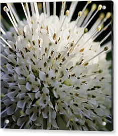 Buttom Bush Acrylic Print by Perla Copernik