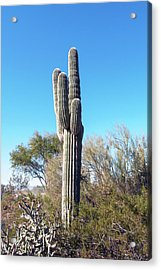 Acrylic Print featuring the photograph Cactus  by Catherine Lau