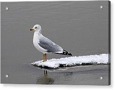 California Seagull Acrylic Print by Dennis Hammer