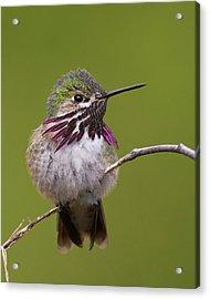 Calliope Hummingbird Acrylic Print by Doug Herr