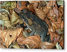 Acrylic Print featuring the photograph Cane Toad by Breck Bartholomew