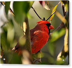 Cardinal 2 Acrylic Print by Todd Hostetter