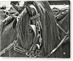 Carriage Horse Beauty Acrylic Print by Dressage Design