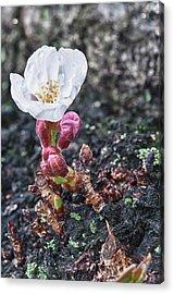 Cherry Blossom Acrylic Print by Sebastian Musial