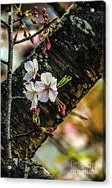 Cherry Tree Blossoms Acrylic Print by Elijah Knight