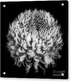 Acrylic Print featuring the photograph Chrysanthemum 'otome Pink' by Ann Jacobson
