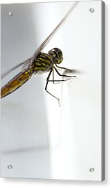Close Up Shoot Of A Anisoptera Dragonfly Acrylic Print by Ulrich Schade
