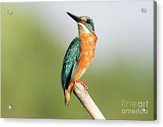Common Kingfisher Alcedo Atthis Acrylic Print