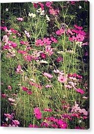 Cosmos Flowers  Acrylic Print by Sobajan Tellfortunes