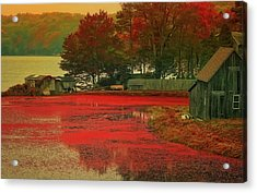 Cranberry Farm Acrylic Print by Gina Cormier