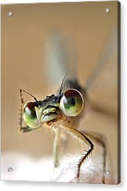 Acrylic Print featuring the photograph Damsefly by Lorella  Schoales
