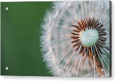 Acrylic Print featuring the photograph Dandelion by Bess Hamiti