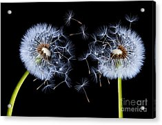 Acrylic Print featuring the photograph Dandelion On Black Background by Bess Hamiti