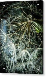 Dandelions Acrylic Print by Iris Greenwell