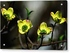 Dogwood Blossoms Acrylic Print by Kathleen Stephens