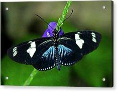 Doris Longwing Butterfly Acrylic Print