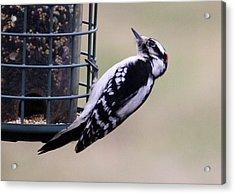 Downy Woodpecker Acrylic Print by Annie Babineau