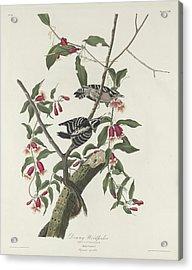 Downy Woodpecker Acrylic Print by Anton Oreshkin