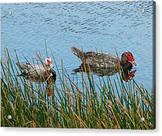 Acrylic Print featuring the photograph 2- Ducks by Joseph Keane