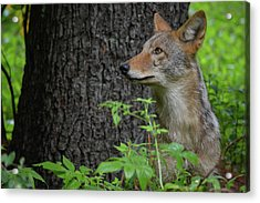 Early Morning Coyote In Maine Acrylic Print