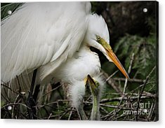 Egret With Babies Acrylic Print by Paulette Thomas