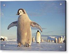 Emperor Penguin Aptenodytes Forsteri Acrylic Print by Tui De Roy