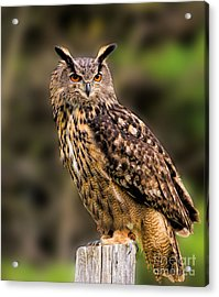 Eurasian Eagle Owl Perched On A Post Acrylic Print