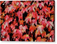 Fiery Foliage Acrylic Print by JAMART Photography