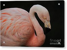 Flamingo Acrylic Print by Paulette Thomas