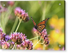Flight Of The Monarch 1 Acrylic Print