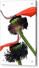 Flower Poppy In Studio Acrylic Print by Bernard Jaubert