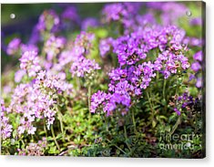Acrylic Print featuring the photograph Flowering Thyme by Elena Elisseeva