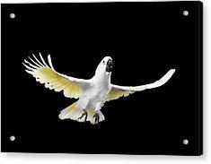 Flying Crested Cockatoo Alba, Umbrella, Indonesia, Isolated On Black Background Acrylic Print by Sergey Taran