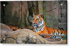 Fort Worth Zoo Tiger Acrylic Print