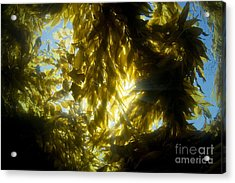 Giant Kelp Forest Acrylic Print by Dave Fleetham - Printscapes