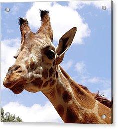 Giraffe Getting Personal 6 Acrylic Print