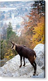 Goat In The Austrian Alps Acrylic Print by Andre Goncalves