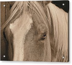 Golden Palomino Acrylic Print by JAMART Photography