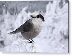 Gray Jay - White Mountains New Hampshire Usa Acrylic Print