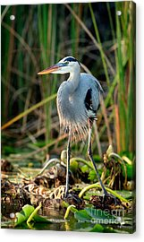 Great Blue Heron Acrylic Print by Matt Suess