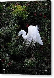 Great Egret Acrylic Print by Keith Lovejoy