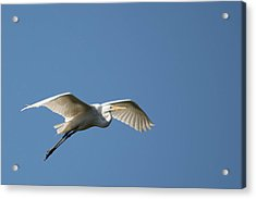 Great Egret Acrylic Print by Linda Geiger