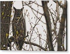 Great Horned Owl Acrylic Print by Matt Steffen