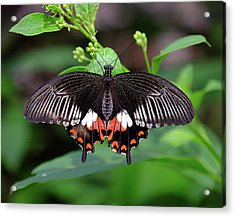 Great Mormon Butterfly Acrylic Print by Ronda Ryan