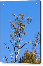 Gum Tree - Canberra - Australia Acrylic Print by Steven Ralser