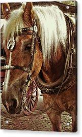 Haflinger Pony Acrylic Print by Dressage Design