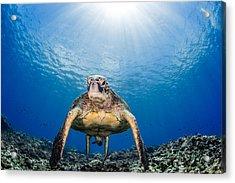Hawaiian Turtle Acrylic Print