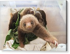 Acrylic Print featuring the photograph Hoffmanns Two-toed Sloth Choloepus by Suzi Eszterhas