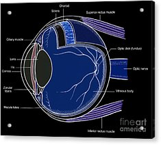 Illustration Of Eye Anatomy Acrylic Print by Science Source
